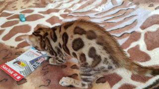 Bengal cat. Kittens Kiev