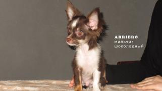 Чихуахуа щенки різного забарвлення р. Москва (доставка)