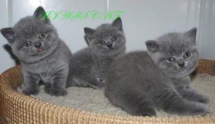 Домашні кошенята шотландські