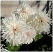Коріння хризантеми