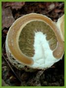 Лікувальна настойка гриба Веселки