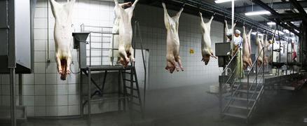 Лінія забою свиней, великої рогатої худоби, птиці