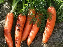 Продам моркву оптом, від виробника