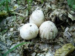 Продам настойку гриба веселка