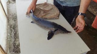 Продам товарну рибу осетра, зарибок осетрових