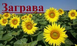 Продаємо гібрид соняшнику Загарава