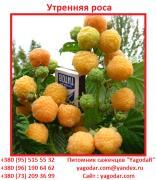 Саджанці малини Ранкова роса