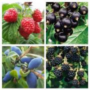 Саджанці малини, смородини, ожини, журавлини, чорниці