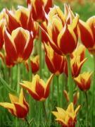 саджанці,рослини, дерева, посадковий матеріал (опт від 1000 грн)