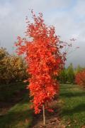 Великомірні дерева для озеленення – листяні і хвойні